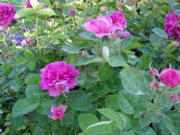 DSC00196.jpg...Sophy's-Rose